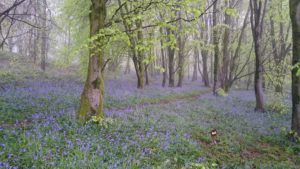 Bluebells in a grove of trees.