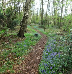 Bluebells in Chelmsley Wood