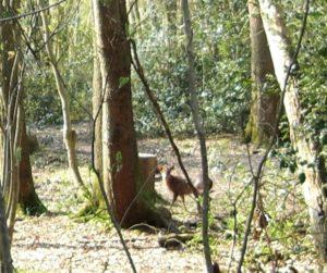 Muntjac Deer, Bills Wood